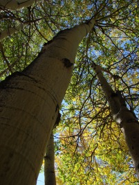 Aspen Trees in Garfield/Monarch