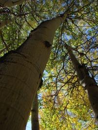 Aspen Trees in Garfield/Monarch