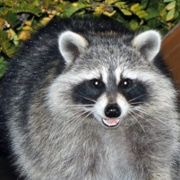 Local Racoon