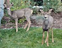 Deers in Salida