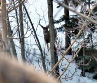 Close-up View of Elk