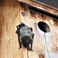 Bat Resting
