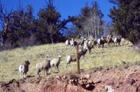 Herd of Rams