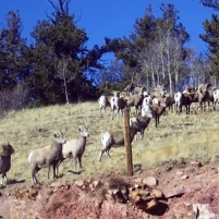 Herd of Rams