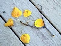 Changing Aspen Leaves