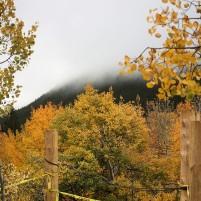 Fall Aspen trees 2018.